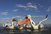 Flock of Dalmatian Pelicans feeding in winter Greece