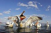 Flock of Dalmatian Pelicans feeding in winter Greece