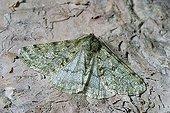 Moth (Apocheima pilosaria)
