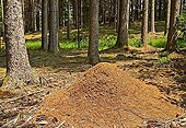 Ant hill, Forest Ant hill, Spruce forest with Ant hill, Paehl, Bavaria, Germany, BRD, Europe,