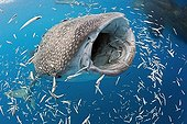 Feeding Whale Shark Cenderawasih Bay West Papua Indonesia