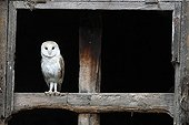 Barn Owl perched in the window of an old stable GB