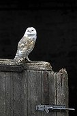 Barn Owl perched on the door of an old stable GB