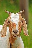 Domestic goat (Capra hircus)