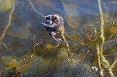Moor frogs ( Rana arvalis ) pairing hugging in water