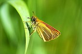 Small Skipper butterfly Thymelicus sylvestris