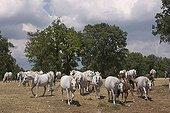 Herd of Lipizzan (Equus przewalskii f ; Herd of Lipizzan (Equus przewalskii f. caballus), Lipica stud ranch, Slovenia, Europe