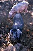 ESP, Spain, Balearic Islands, Mallorca : the typical black pigs.