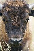 Portrait d'un jeune Bison d'Amérique dans un parc Suisse