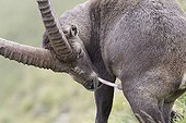 Alpine ibex male making his personal hygiene France