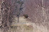 Northern Harrier hunting in a orchard in winter Switzerland