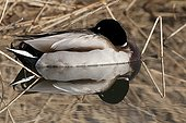 Male Mallard duck making his toilet on water Leman Lake