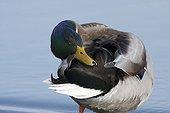 Male Mallard duck making his toilet he edge of Leman Lake