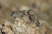 Little Owl feeding its young already flying Spain