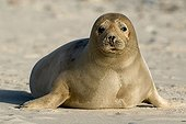 Young Atlantic Grey Seal (Halichoerus grypus), Helgoland Island, North Sea, Lower Saxony, Germany, Europe