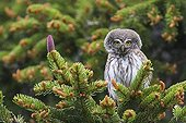 Pygmy Owl adult singing on a fir in Switzerland