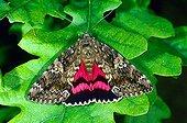 Dark Crimson Underwing (Catocala sponsa), fam. Noctuidae