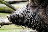 Wild Boar (Sus scrofa) sow, its snout covered in mud, at a zoo in Klein-Auheim, Hesse, Germany, Europe