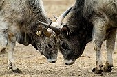 Hungarian Steppe Cattle or Hungarian Grey Cattle fighting, horns locked, Illmitz, Neusiedlersee Lake, Burgenland, Austria, Europe