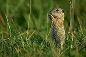 European Ground Squirrel or Souslik (Spermophilus citellus) gnawing on a plant, Illmitz, Burgenland, Austria, Europe