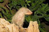 Banded Mongoose ; Banded Mongoose (Mungos mungo) looking alert, Luisenpark, Mannheim, Baden-Wuerttemberg, Germany, Europe
