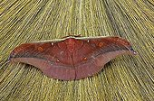Butterfly, Satyriinidae, Antheraea roley