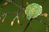 Larva of a green stink bug (Palomena prasina)