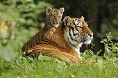 Siberian Tiger (Panthera tigris altaica) with cub