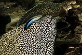Laced moray and Bluestreak cleaner wrasse South Africa
