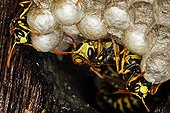 Common wasps nest on Normandy France