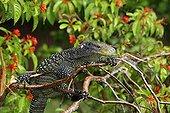 Crocodile Monitor in a tree Papua New Guinea
