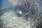 European beaver out of its hole under water Savoie France