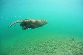 European beaver swimming underwater in Savoie France