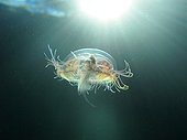 Freshwater jellyfish swimming in a gravel pit Rhone France