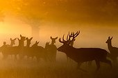 Red deer & Hinds standing in the mist at sunrise in autumn
