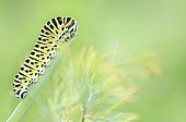 Swallowtail caterpillar eating a stem of dill Allier France ; The Dill is the host plant of the butterfly.