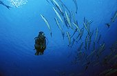 Great Barracuda (Sphyraena barracuda), Palau, Pacific Ocean, Oceania