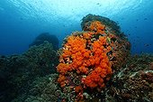 Underwater scenery with coral block at coral reef with many Red softcorals (Nephtheidae) and fish, Gangga Island, Bangka Islands, North Sulawesi, Indonesia, Molucca Sea, Pacific, Asia