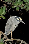 Yellow-crowned night heron (Nycticorax violaceuas), Sanibel Island, Florida, USA