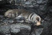 Galapagos Fur Seal (Arctocephalus galapagoensis) on wet rock, Santiago Island, San Salvador, James Island, Puerto Egas, Galapagos Achipelago, UNESCO World Heritage Site, Ecuador, South America