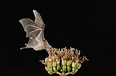 Lesser Long-nosed Bat (Leptonycteris curasoae), adult in flight at night feeding on Agave blossom (Agave sp.), Tucson, Sonoran desert, Arizona, USA