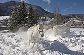 Lipizzan horses on winterly paddock, Achenkirch, Tyrol, Austria