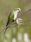 Monk parakeet, Quaker parakeet (Myiopsitta monachus)