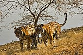 Two tigers (Panthera tigris) moving on the dry grasses of the dry deciduous forest of Ranthambore Tiger Reserve