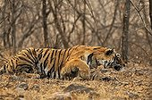 Tiger (Panthera tigris) in the dry deciduous habitat of Ranthambore Tiger Reserve, India
