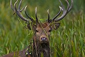 Male red deer with grass caught in its antlers Spain