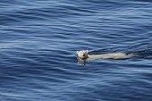 Polar bear swimming across the Isabella Bay in Canada