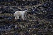 Polar bear in the tundra on Baffin Island in Canada