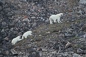 Polar bear female followed by its two cubs Canada ; 6 months old cubs.
