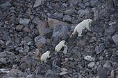 Polar bear female with its two cubs climbing rocks Canada ; 6 months old cubs.